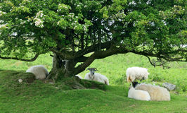 Sheep under gnarled tree. This is a common sight for walkers and ramblers on Bodmin Moor Cornwall UK Royalty Free Stock Images