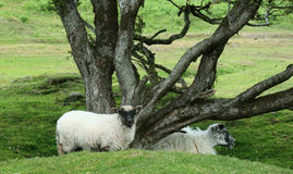 Sheep under gnarled tree. This is a common sight for walkers and ramblers on Bodmin Moor Cornwall UK Stock Images