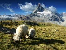Sheep under Matterhorn, Switzerland. Sheep under Matterhorn, Walais Alps, Switzerland Royalty Free Stock Photo