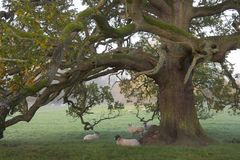 Sheep under an oak tree Royalty Free Stock Photo