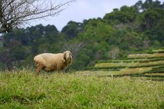 Sheep under the plum tree Stock Photos