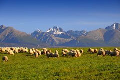 Sheep under Slovac mountains Stock Photography