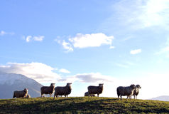 Sheep under the sun. Sheep leisurely activities on the prairie Stock Images