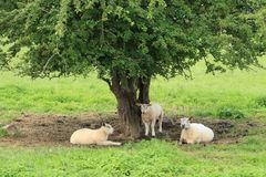 Free Sheep Under The Tree In The Shadow In Wales. Stock Image - 121349941