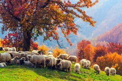 Free Sheep Under The Tree In Transylvania Royalty Free Stock Image - 59897566