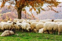 Free Sheep Under The Tree In Transylvania Stock Photo - 59897610