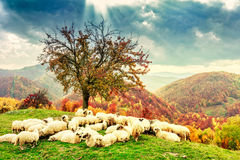 Sheep under the tree and dramatic sky royalty free stock images