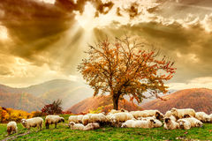Sheep under the tree and dramatic sky. Bible scene. Sheep under the tree  and dramatic sky in autumn landscape in the Romanian Carpathians Royalty Free Stock Images