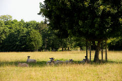 Sheep under tree Royalty Free Stock Photography
