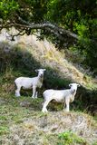 Sheep under tree looking towards camera on countryside farm hill in summer. stock photo