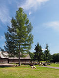 Sheep under the tree in Pribylina. Herd of black and white sheep near tall coniferous tree with folk log houses in background located in Pribylina open-air royalty free stock images