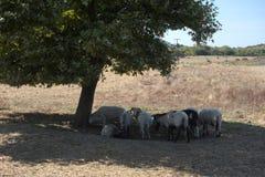 Sheep under a tree Stock Photo