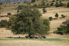 Sheep under a tree Royalty Free Stock Image