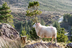 Sheep up on rocky mountain landscape Royalty Free Stock Photo
