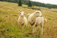 Sheep on upland meadow. White sheep feeding on grass on upland meadow royalty free stock photos