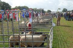 Sheep Usk Show Stock Photo