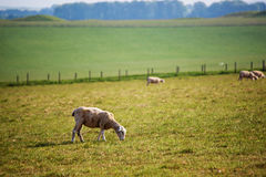 Sheep in the valley at Stonehenge in Wiltshire in UK royalty free stock photos