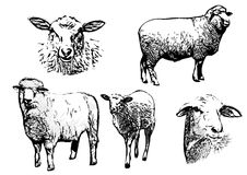 Sheep vector illustrations. On white Stock Photos