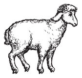 Sheep. Vector sketch Stock Photography