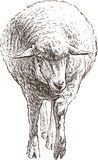 Sheep. Vector sketch of the young sheep Royalty Free Stock Photo