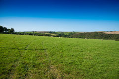 Sheep. Verdant grassland with sheep, bushes and a clear blue sky near St Issey in north Cornwall Royalty Free Stock Image