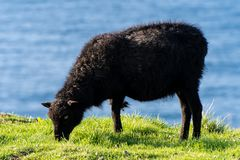 A sheep very intent on eating grass on the Faroe Islands Stock Image