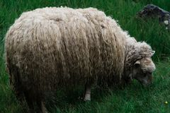 A sheep very intent on eating grass on the Faroe Islands.  royalty free stock photography