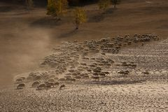 Sheep. Very rare, see such a scene.Sheep are eating grass on the grassland Stock Photo