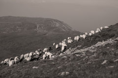 Sheep view from dron Stock Images