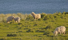 Sheep with a view - New Zealand coast Royalty Free Stock Photos