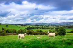 Sheep With A View Royalty Free Stock Photos