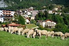Sheep in a village Stock Photos