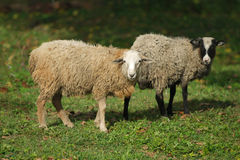 Sheep in the village eat grass Stock Image