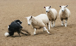 Sheep vs Dog. A sheep challenging a sheepdog in a dirt field Stock Photo