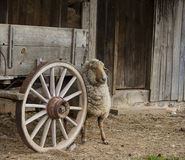 Sheep at Wagon Wheel Royalty Free Stock Images