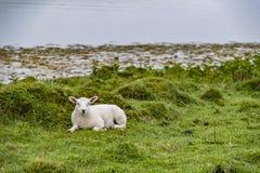 Sheep waiting at the coast during the rain. Sheep waiting at the coast during the scottish rain stock photos