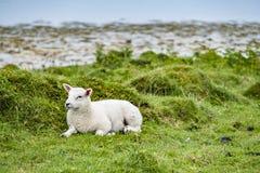 Sheep waiting at the coast during the rain. Sheep waiting at the coast during the scottish rain stock image