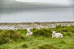Sheep waiting at the coast during the rain. Sheep waiting at the coast during the scottish rain royalty free stock photography