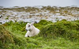 Sheep waiting at the coast during the rain. Sheep waiting at the coast during the scottish rain royalty free stock image