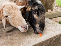 Sheep waiting for feeding. In fence Stock Photos