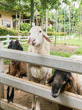 Sheep waiting for feeding. In fence Stock Photo