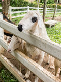 Sheep waiting for feeding. In fence Stock Photography