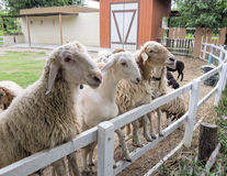 Sheep waiting for feeding in fence Stock Images
