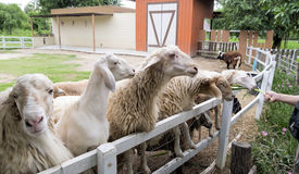Sheep waiting for feeding in fence Royalty Free Stock Photo