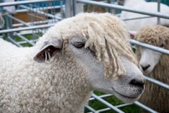Sheep on show Royalty Free Stock Images