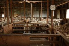 Free Sheep Waiting Overnight To Be Shorn In An Old Traditional Timber Shearing Shed On A Family Farm In Rural Victoria, Australia Stock Photos - 163358853