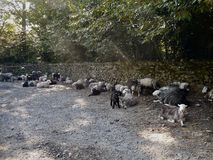 Sheep waiting patiently by gate Stock Photo