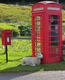 Sheep waiting for a phone call in Scottish Highlands Royalty Free Stock Image