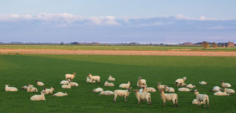 Sheep Waking Up Royalty Free Stock Photos