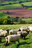 Sheep in Wales. Sheep in a field in the Monnow River Valley in the Black Mountains, Wales Stock Photography